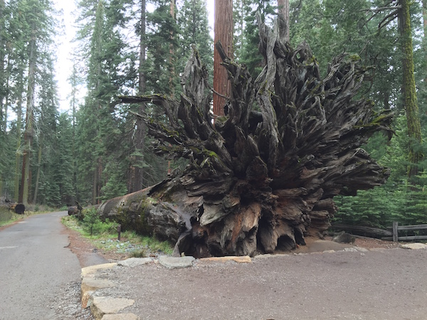 See what's underneath the Giant Sequoia Tree !